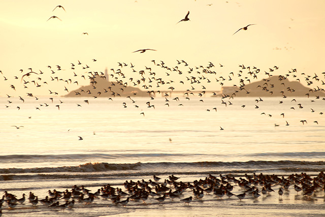 dunlin and oystercatchers waders dawn flight c p holden