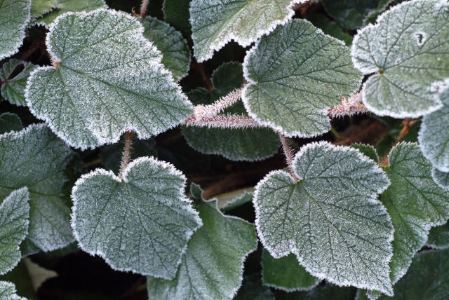 frost on chinese bramble photo Phil Holden
